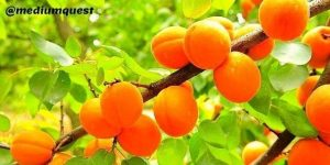 bunch of Apricot on a tree